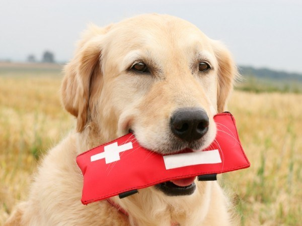Dog Blood Donor