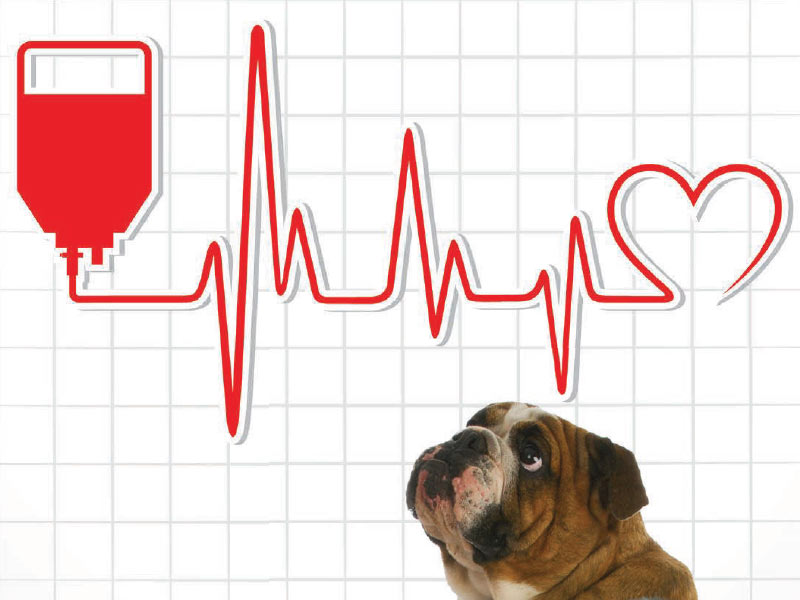 Could Your Dog Be A Blood Donor?